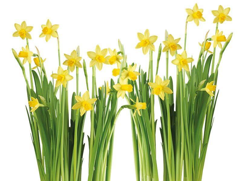 Narcissen, echte voorjaarsbloemen