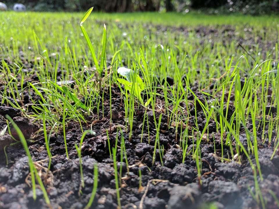 Zaden die na twee weken beginnen te groeien